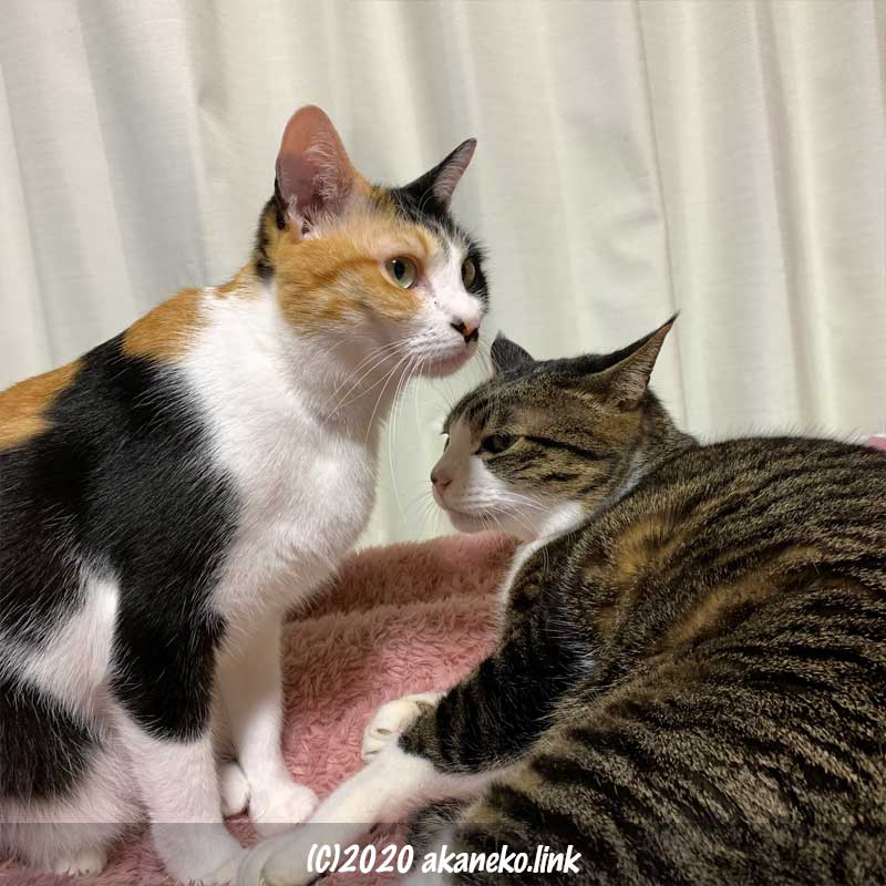 毛布の上の三毛猫とキジ猫