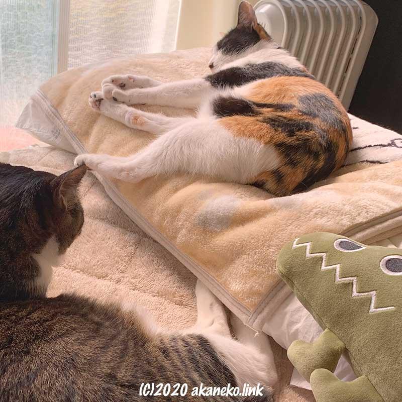 メディカル枕を占領する猫