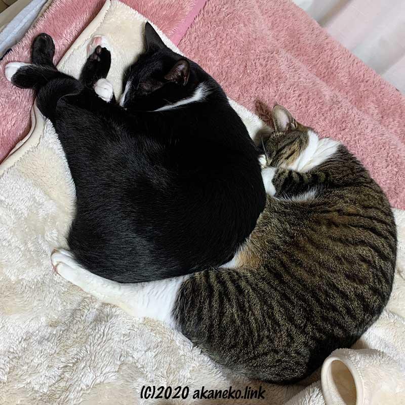 くっついて眠る2匹の猫