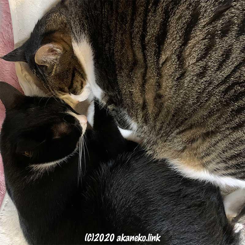 顔をくっつけて眠る2匹の猫(エドとソックス)