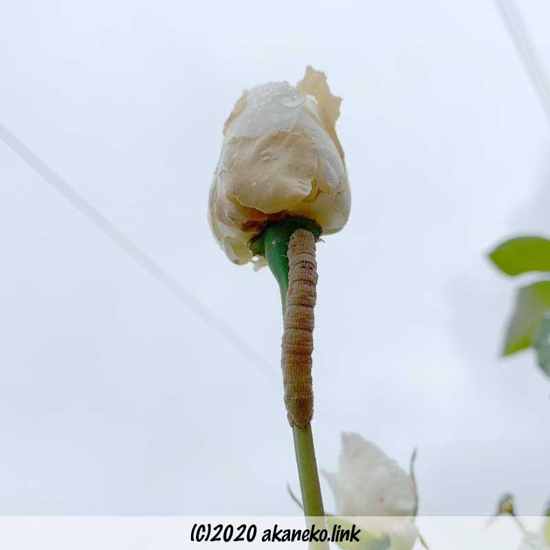 バラの蕾を食べる芋虫