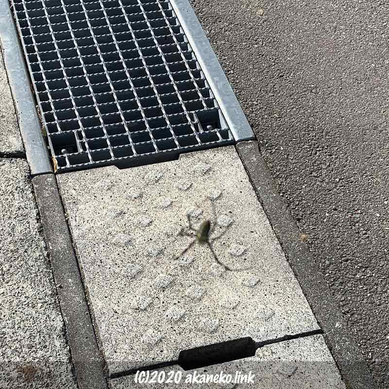 地上70センチに宙吊りのジョロウグモ