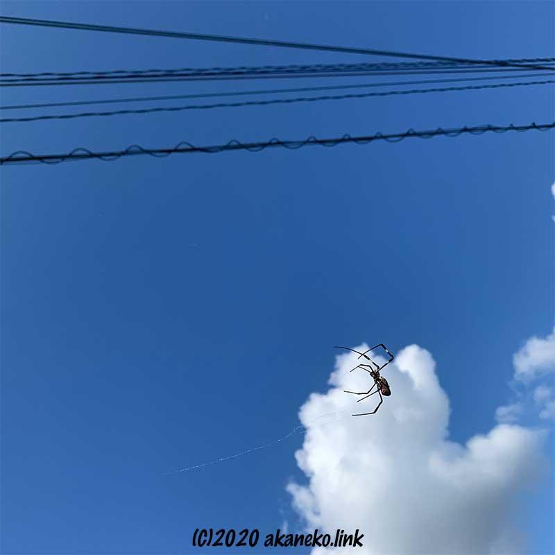 上空の電線への糸を辿るジョロウグモ