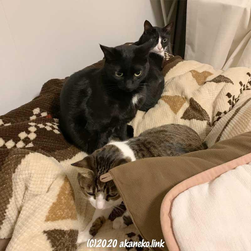 布団の上の3匹の猫