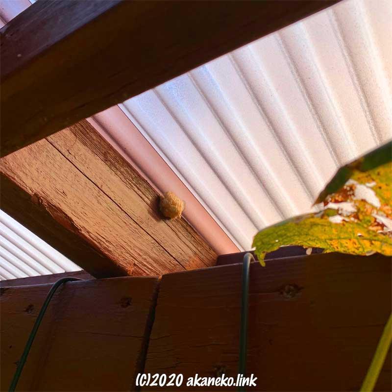 ウッドデッキの屋根の裏のオオカマキリの卵
