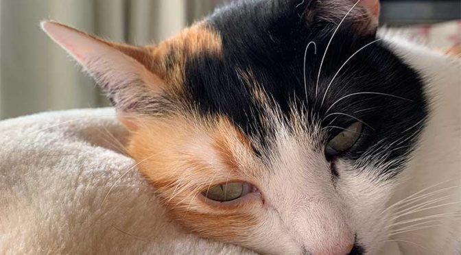 三毛猫みかん、副作用で撃沈す:猫5種ワクチン接種の夜