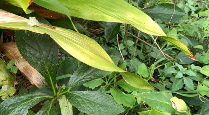 11月の庭のニホンアマガエル2匹