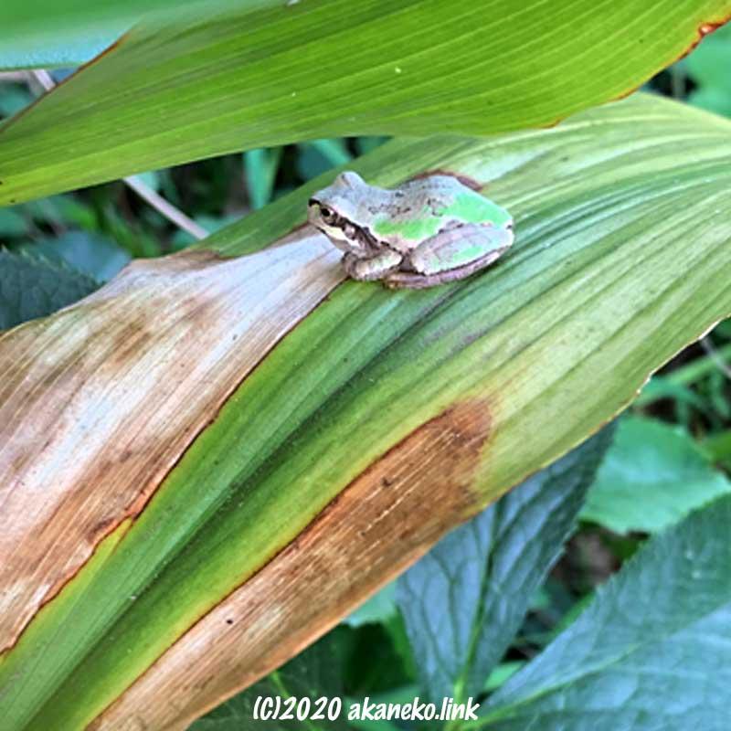 葉蘭の葉上の小さなニホンアマガエル