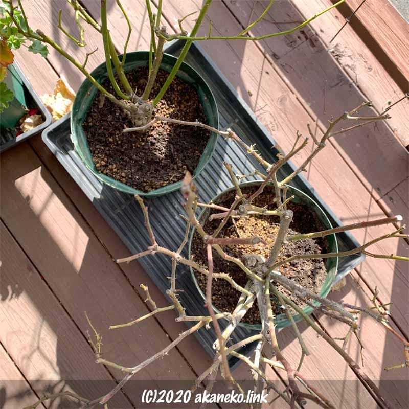 コガネムシの幼虫に根を食べられたバラ