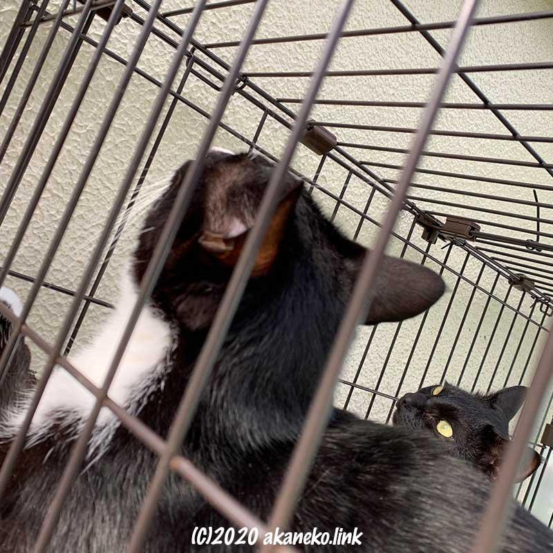 室外ケージの中で上を見上げる2匹の猫