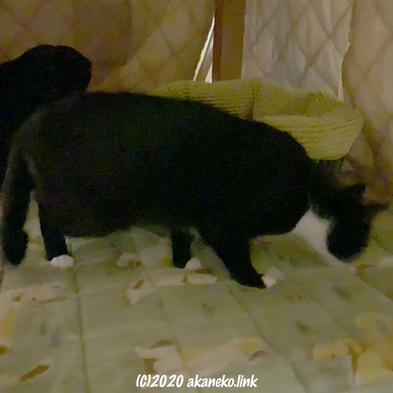 炬燵の中をチェックする猫たち