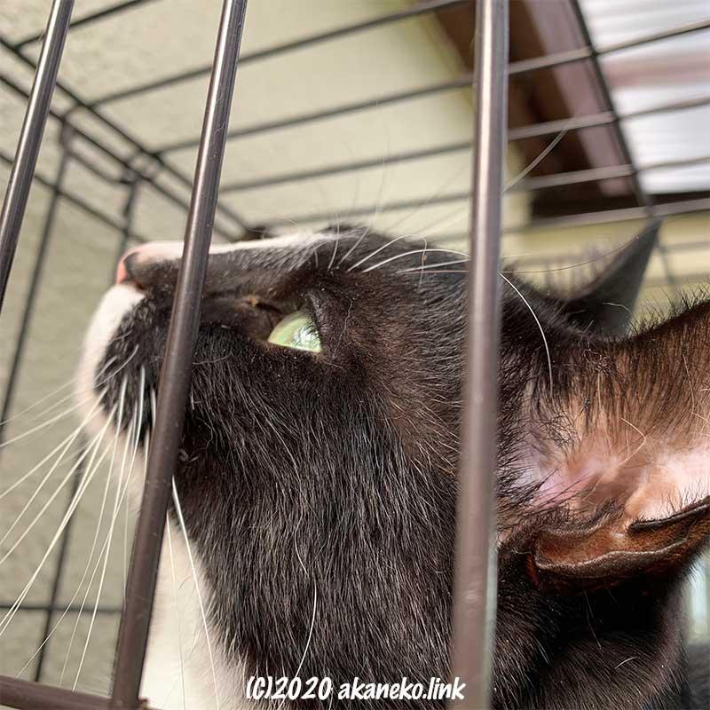 外ケージの中で上を見上げる猫の横顔