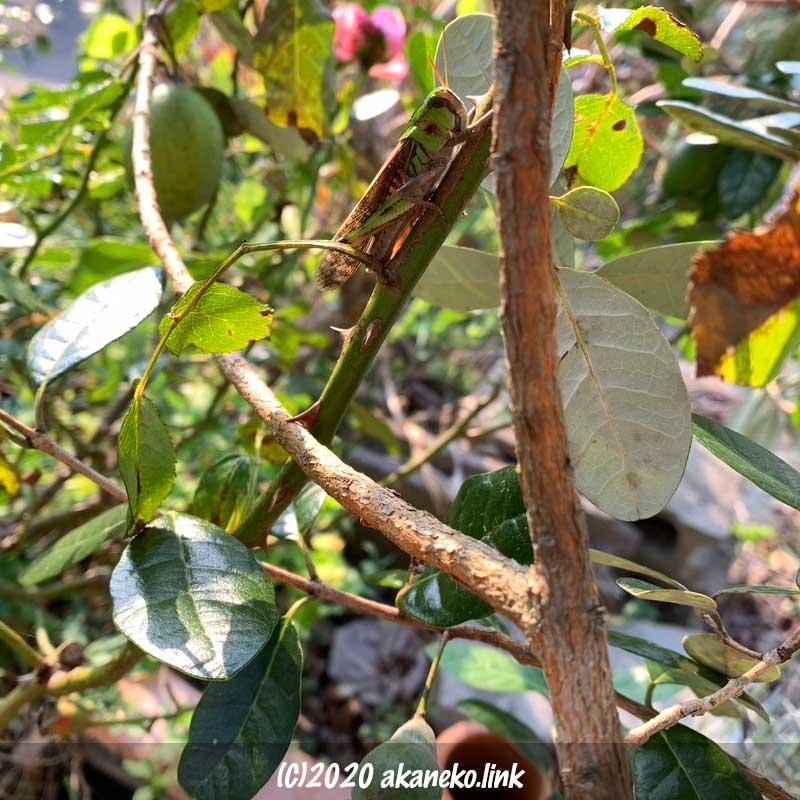 薔薇の枝のトノサマバッタ