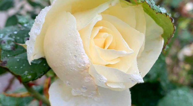 11月、リンゴケンモンとマツガレハと正体不明のバラを食べる芋虫