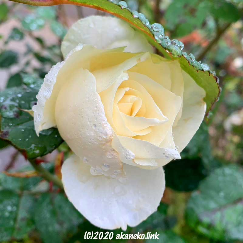 雨に濡れた白薔薇