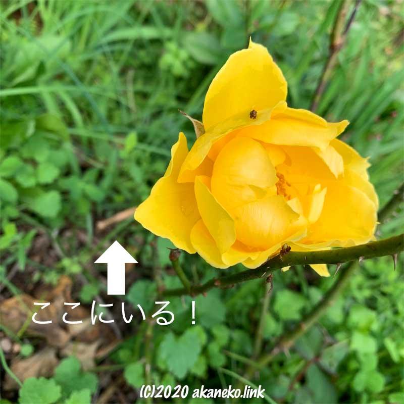 黄色い薔薇ヘンリー・フォンダ
