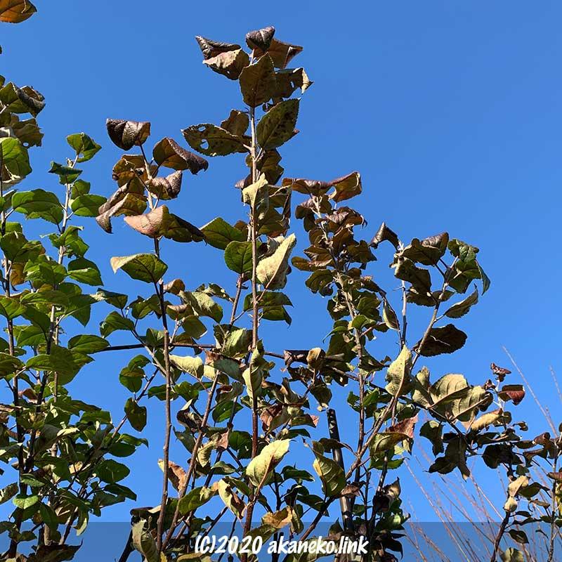 冬がれの始まったリンゴ(ローズパール)