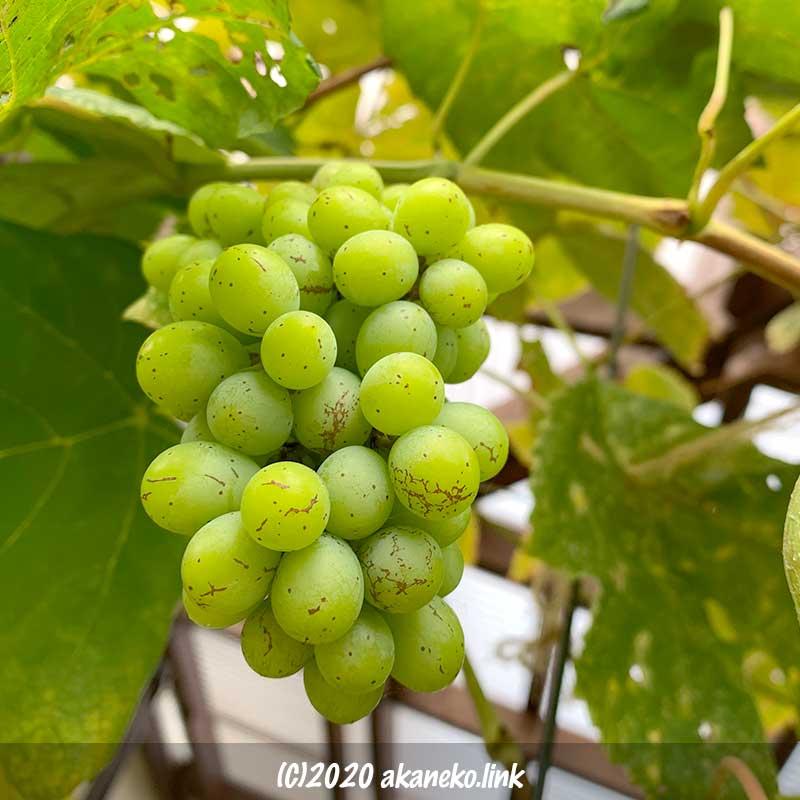 葡萄火ムロッドシードレスの10月の果実