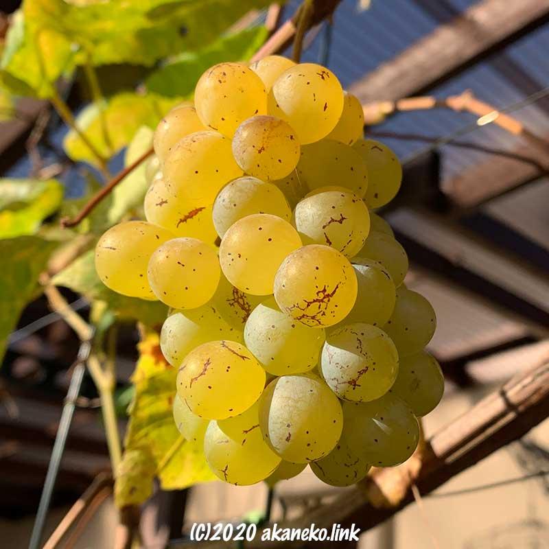 葡萄火ムロッドシードレスの12月の果実