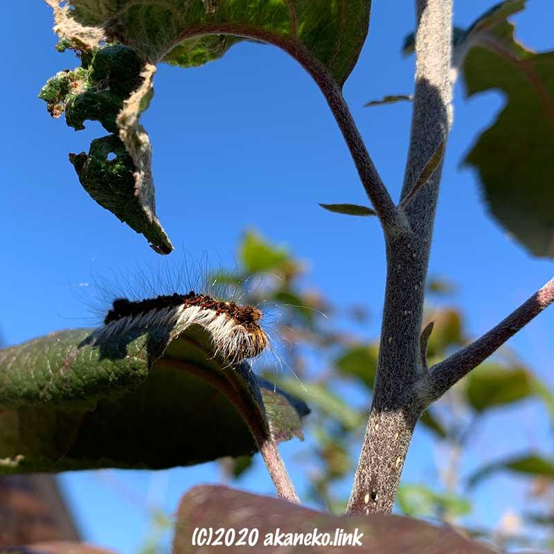 12月のリンゴの葉と毛虫(キバラケンモン)