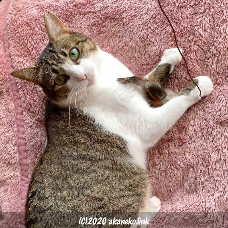 おもちゃで遊ぶ手を止めて見上げる猫