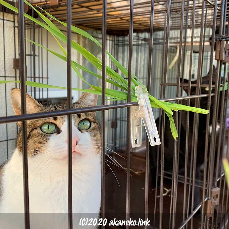 洗濯バサミでケージにとめられた猫草を見つめる猫