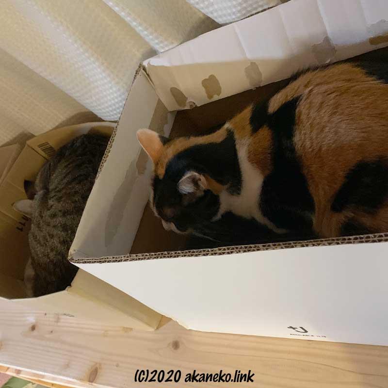 猫棚の段ボールベッドの中の猫(みかんと茶々)