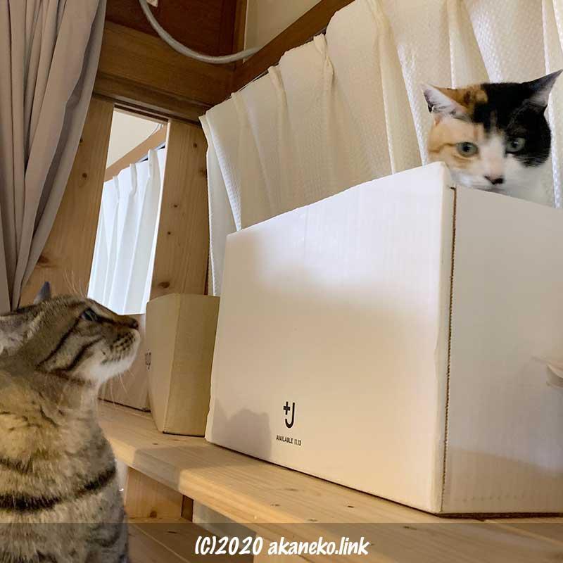 段ボールに入った三毛猫(みかん)を見上げるキジ猫(茶々)