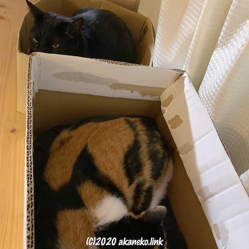 段ボールに入った黒猫(クロエ)と三毛猫(みかん)