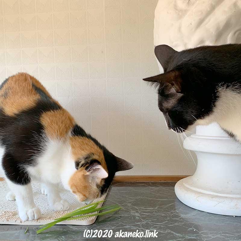 下駄箱の上で猫草を食べる