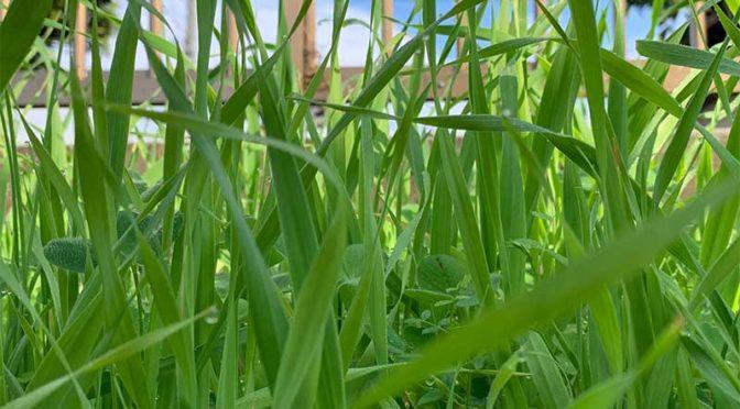 猫草には育ち過ぎたエンバク