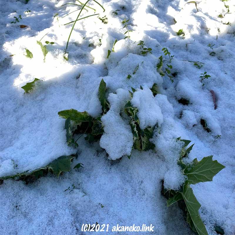 雪をかぶったアカンサスモリス