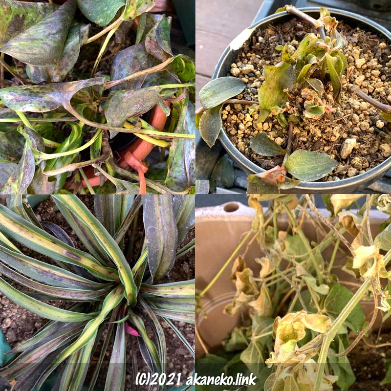 低温でダメージを受けた植物