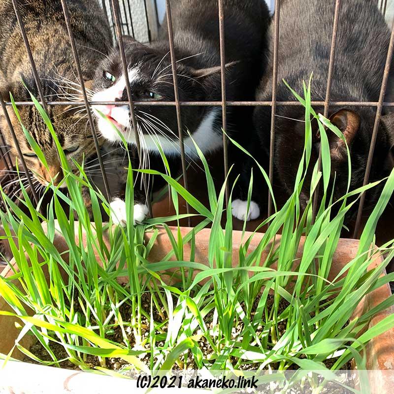 ケージの外の猫草を食べる