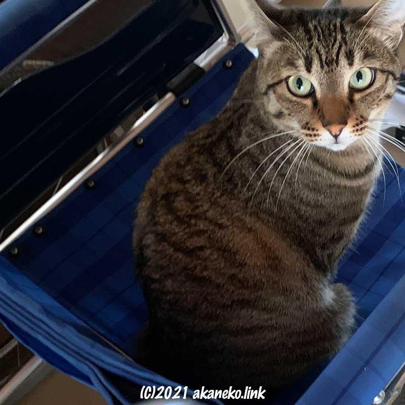 車椅子の座面に座って振り返るキジ猫お茶々