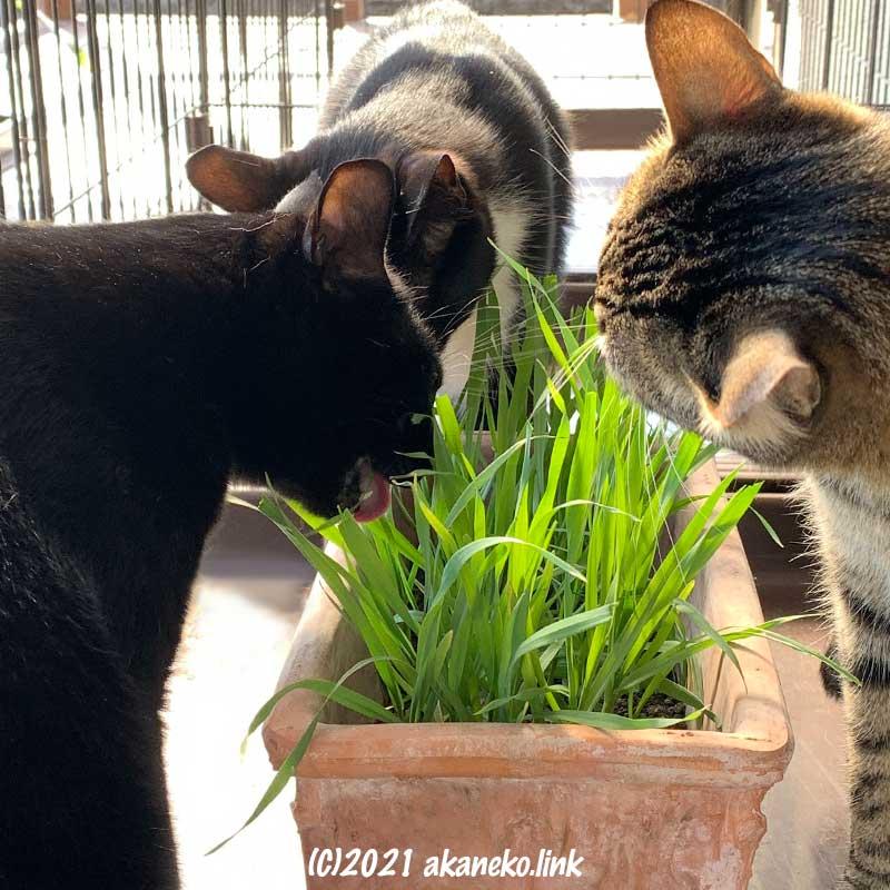 植木鉢のエンバクを食す3匹の猫
