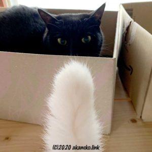 段ボール箱の中から猫じゃらしを狙う猫