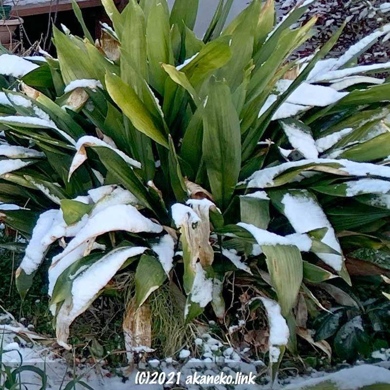 雪をかぶった葉蘭の大株