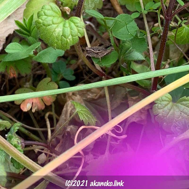 冬、1月の草むらのヒシバッタ