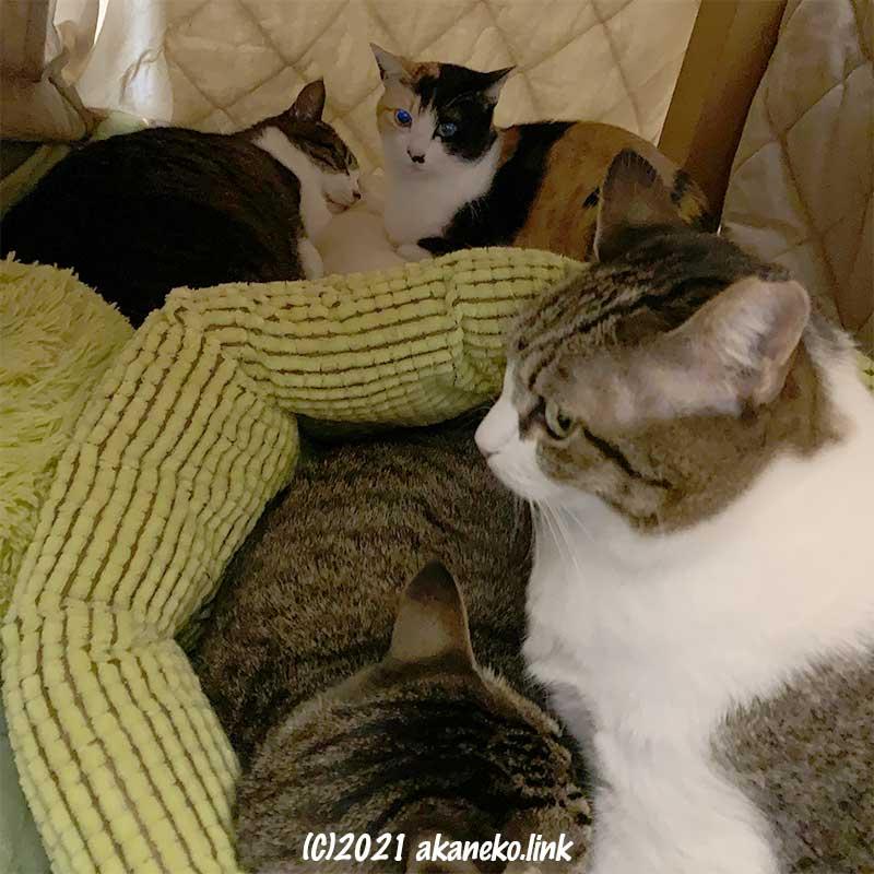 炬燵の中に猫4匹