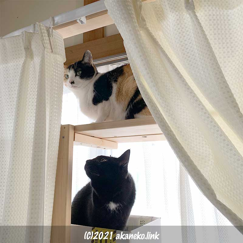 猫棚の三毛猫みかんと黒猫クロエ
