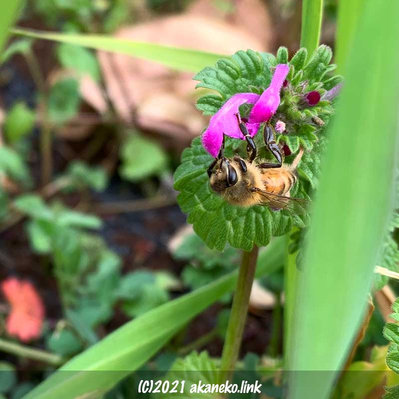 ホトケノザの蜜を吸う蜜蜂