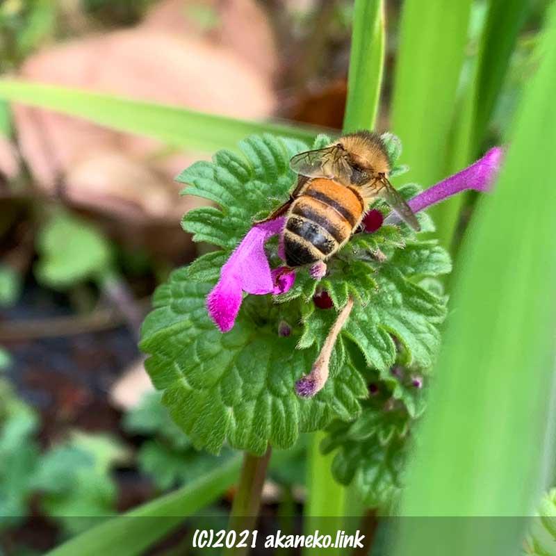 ホトケノザの蜜を吸う蜜蜂のお尻
