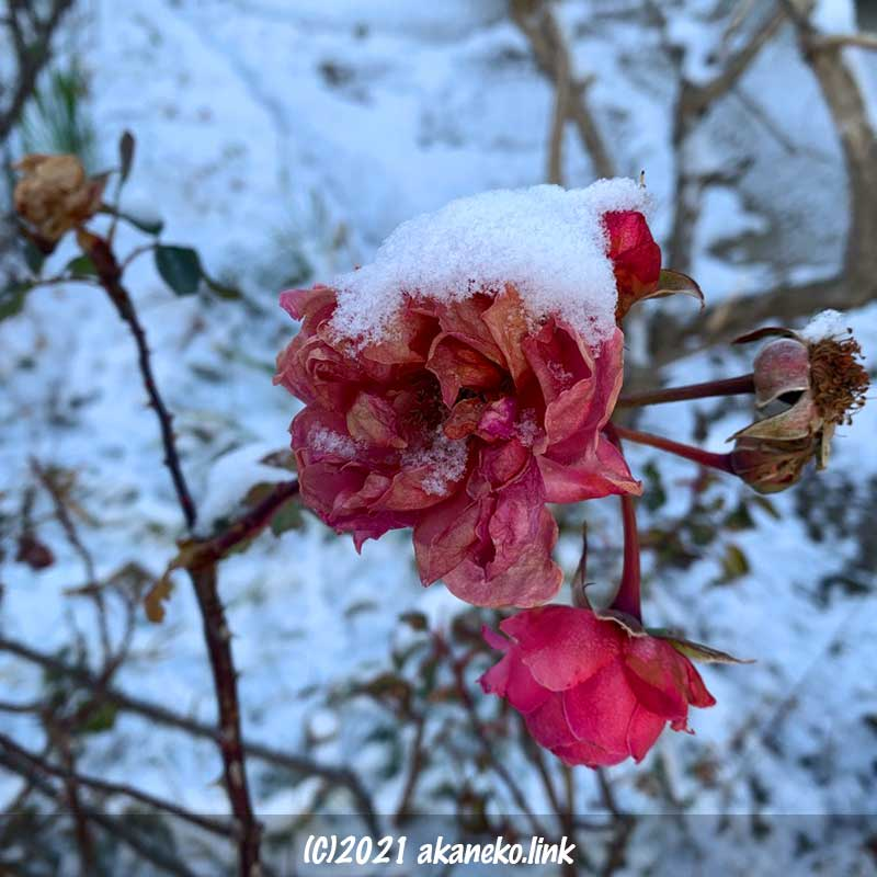 バラに積もった雪