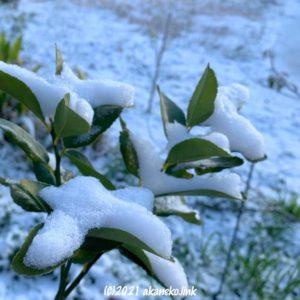 リスボンレモンの葉に積もった雪