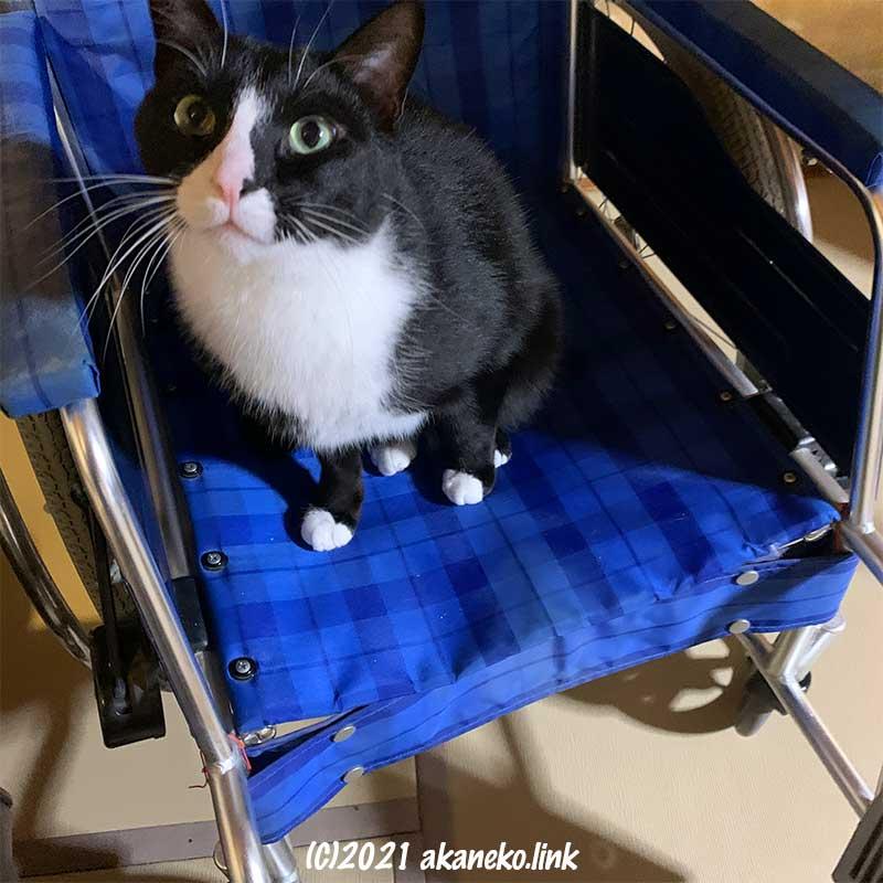 車椅子の座面に座る猫、ソックス