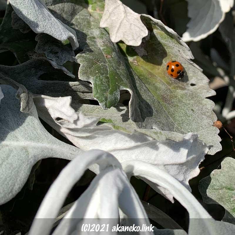 シロタエギクの葉の上で日光浴中のナナホシテントウ