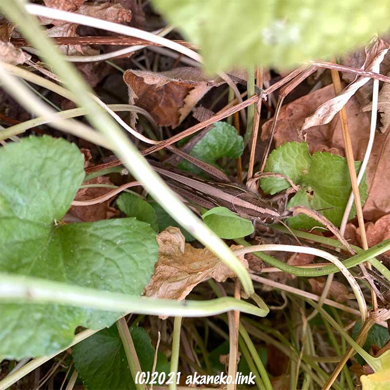 スイートバイオレットの作る藪で越冬中のツチイナゴ