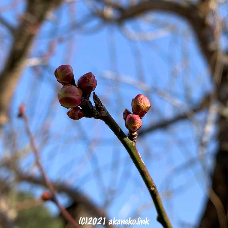 膨らみ始めた白梅の蕾