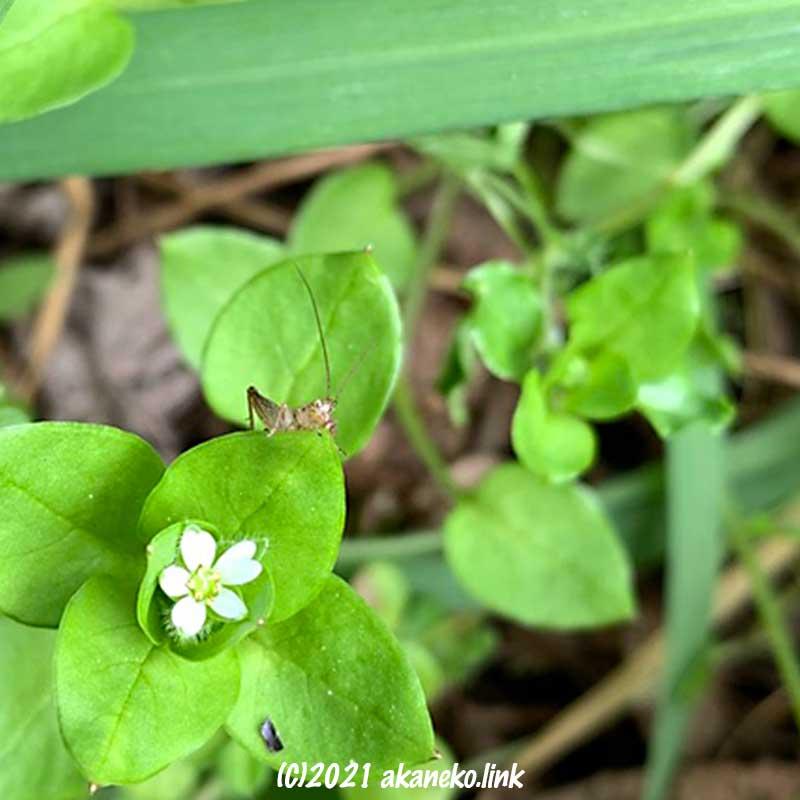 ハコベの花とバッタの幼虫